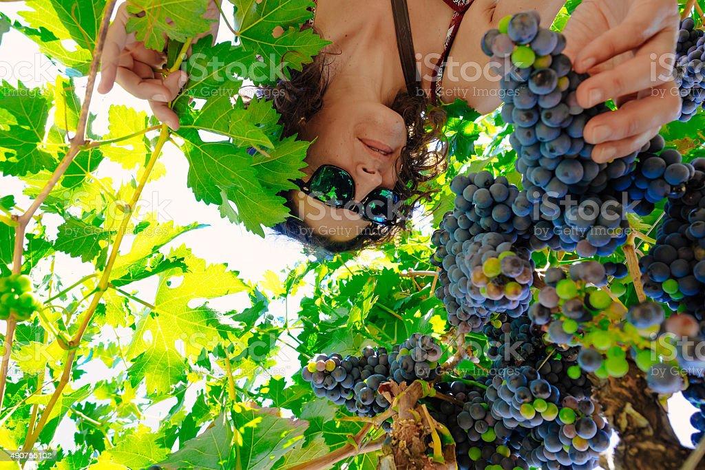 Abaixo de vista de mulher durante a colheita da uva vinho harvest foto royalty-free