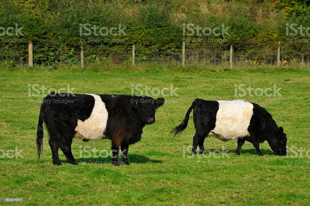 Belted Galloway cattle standing in a Scottish field stock photo