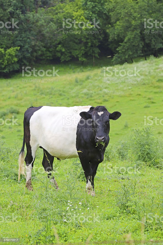Belted Galloway Cow in green field royalty-free stock photo
