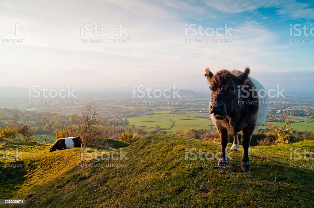 Belted Galloway Cows in the Cotswolds stock photo