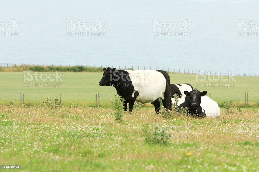 Belted Galloway in Ceredigion, Wales stock photo