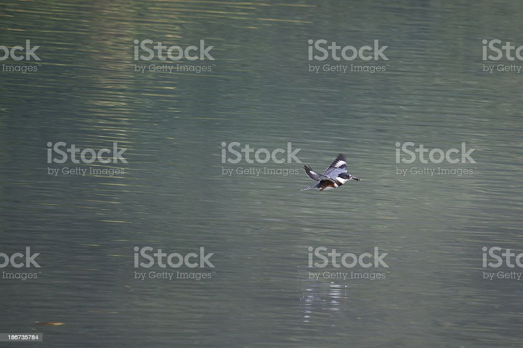 Belted Kingfisher flying stock photo
