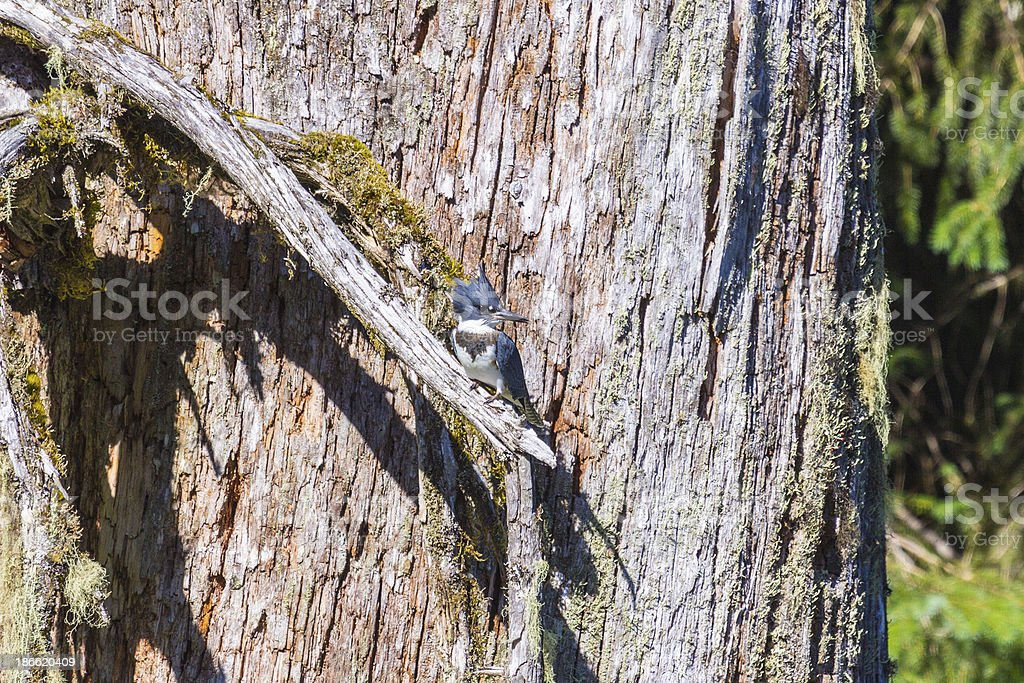 Belted Kingfisher looking to side royalty-free stock photo