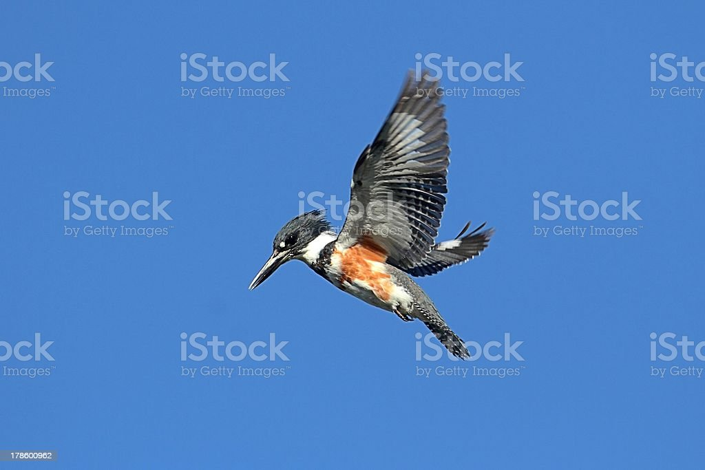 Belted Kingfisher (Ceryle alcyon) stock photo