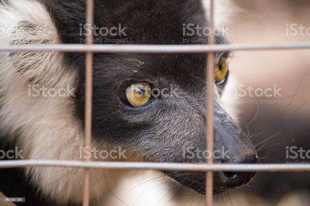 Belted Ruffed Lemur royalty-free stock photo