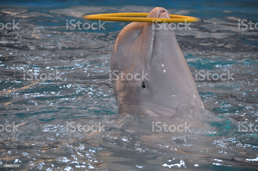 beluga whale (white whale) in water stock photo