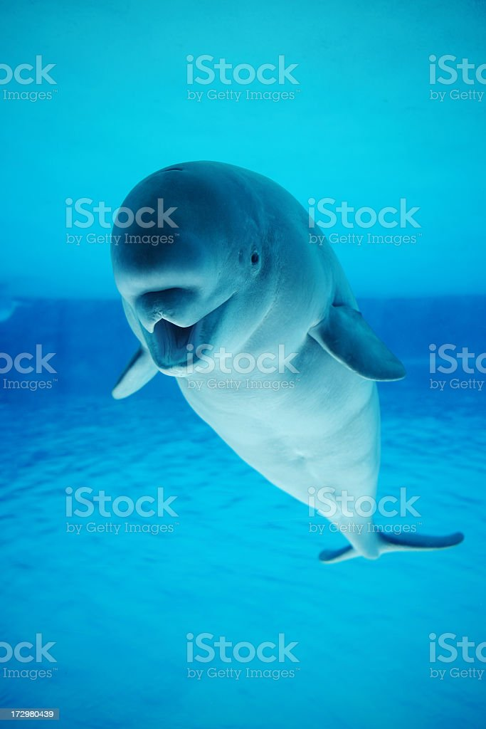 Beluga whale swimming in a clear pool stock photo