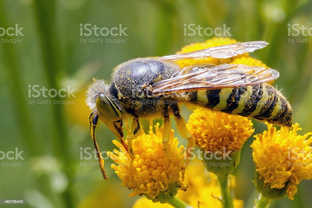 Bembix rostrata or sand wasp stock photo