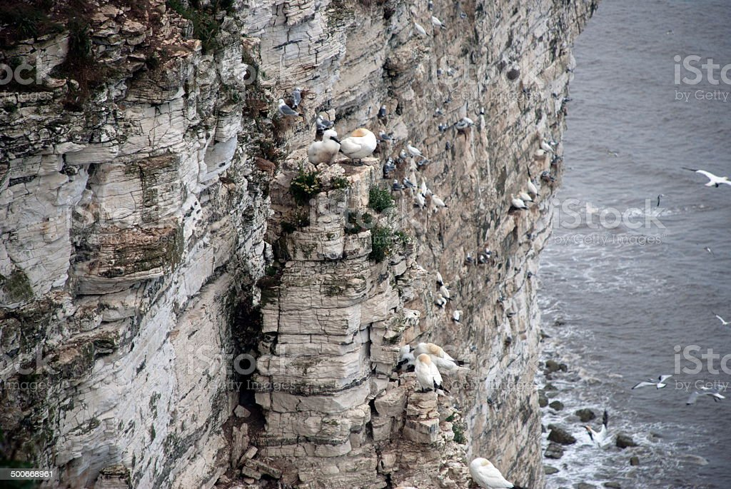 Bempton Cliffs royalty-free stock photo