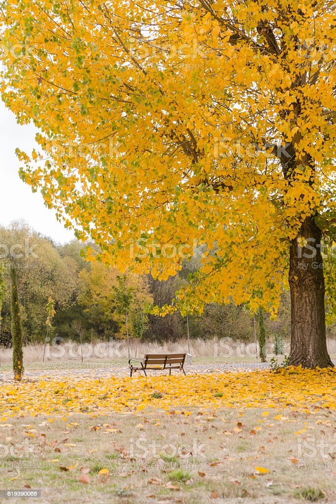 bench in a park with yellow fallen leaves of trees stock photo