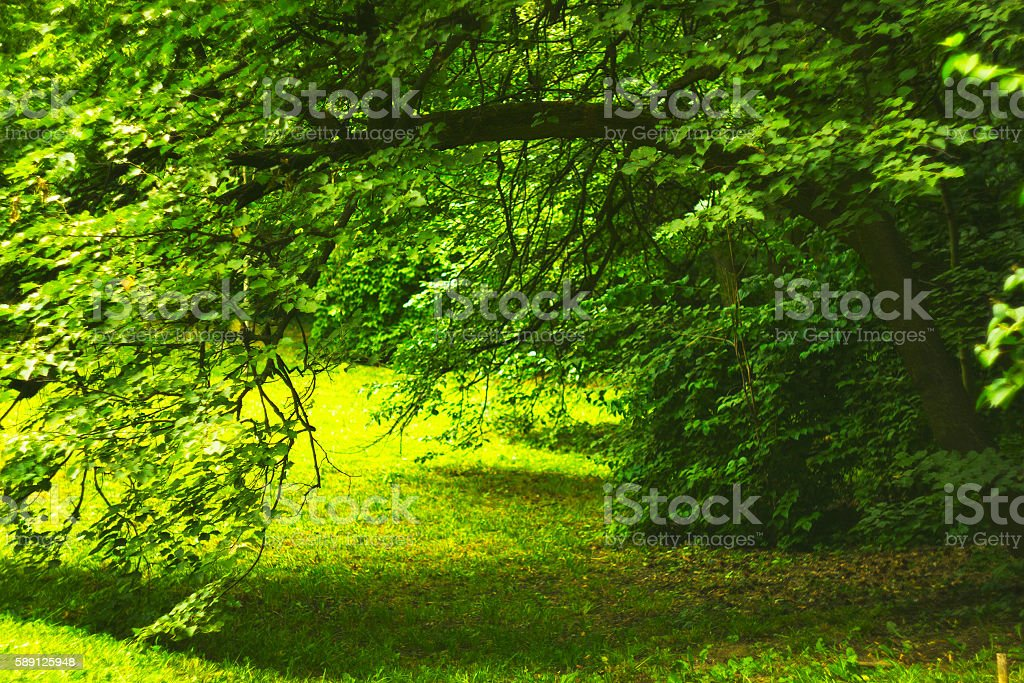 Bend tree branch in summer forest made arch to glade stock photo