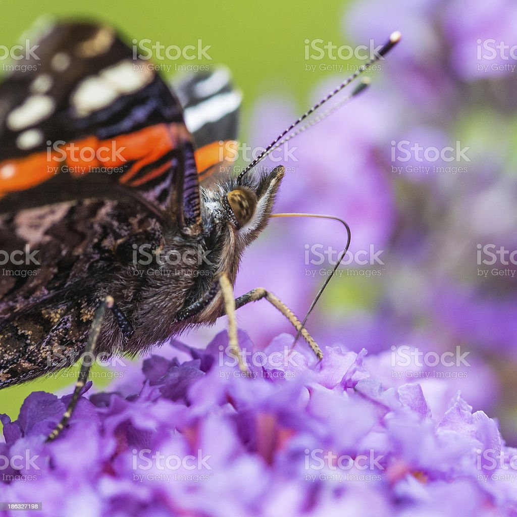 Bendy Proboscis royalty-free stock photo