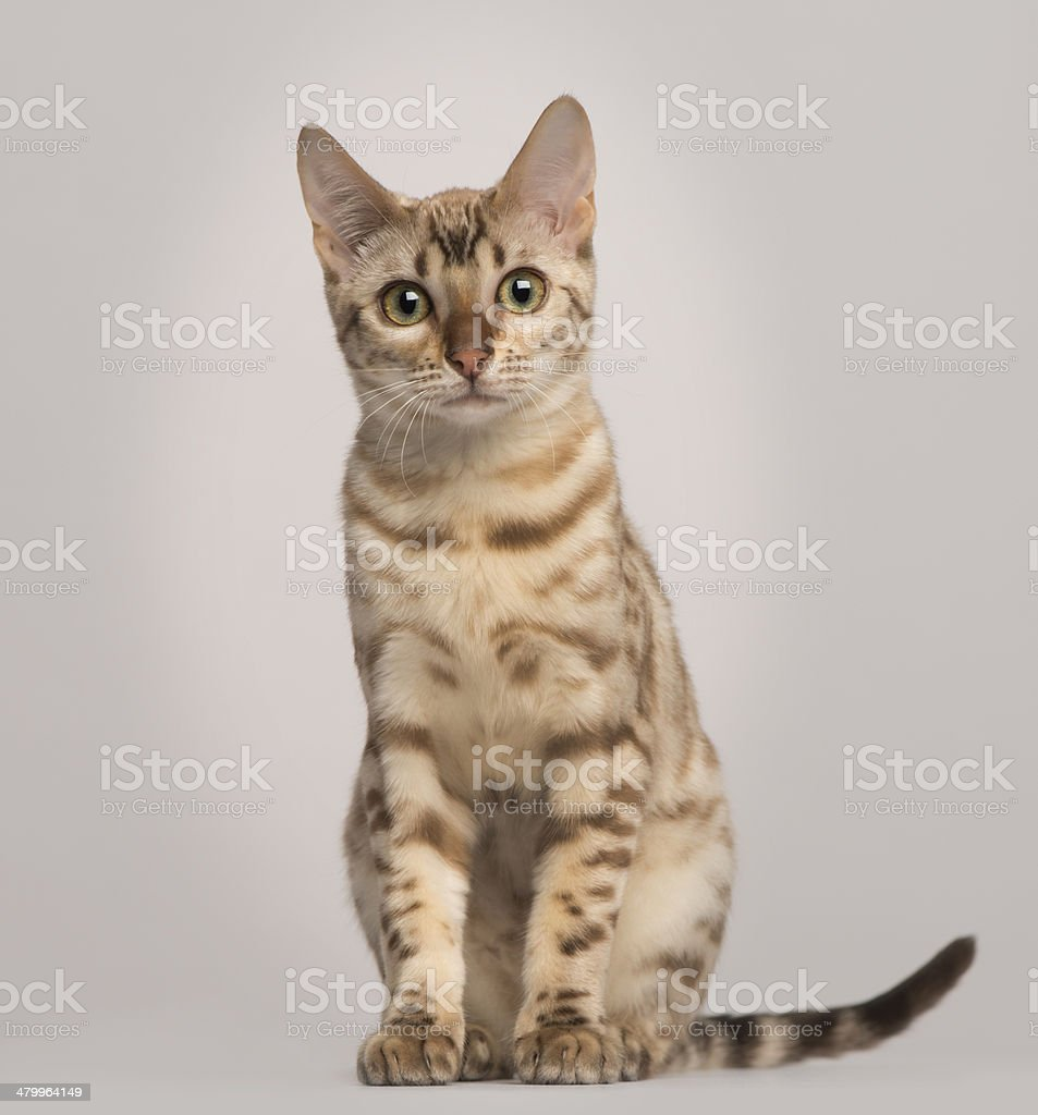 Bengal cat, 5 years old, isolated on white stock photo