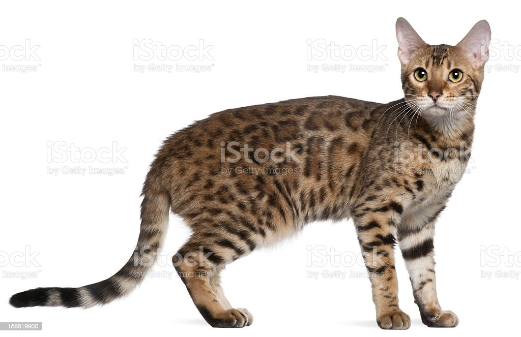 Bengal cat, 7 months old, standing in front stock photo