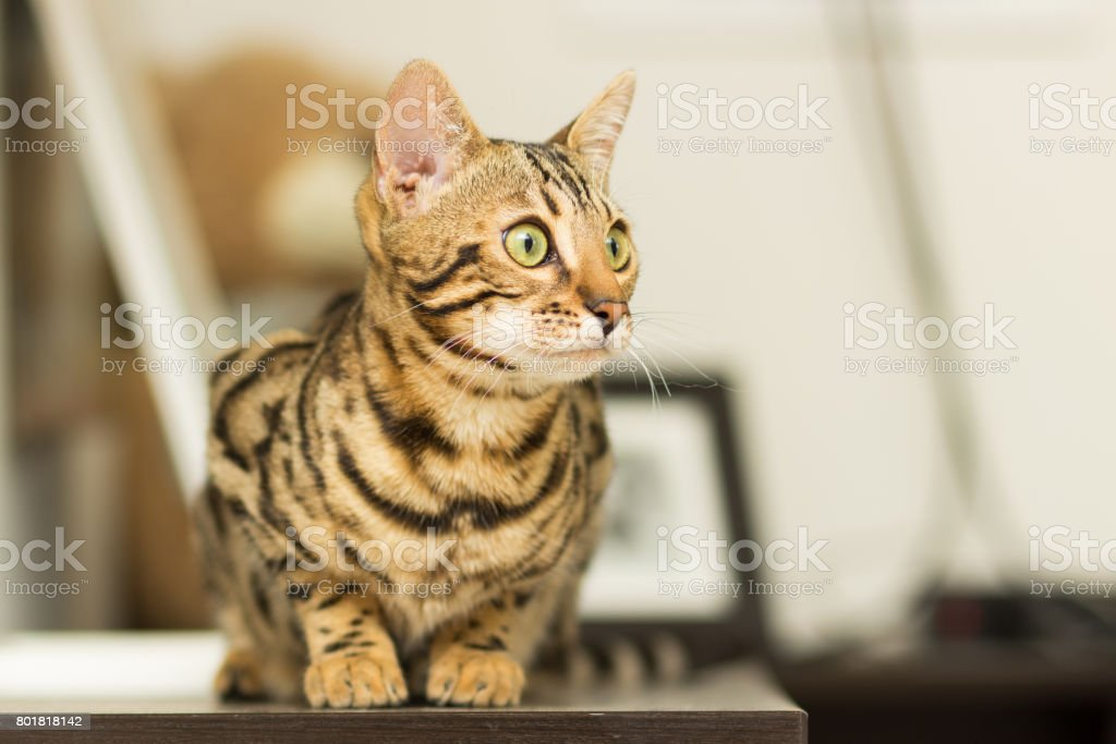 Bengal cat breed at the age of 5 months of lying on the bedside table stock photo