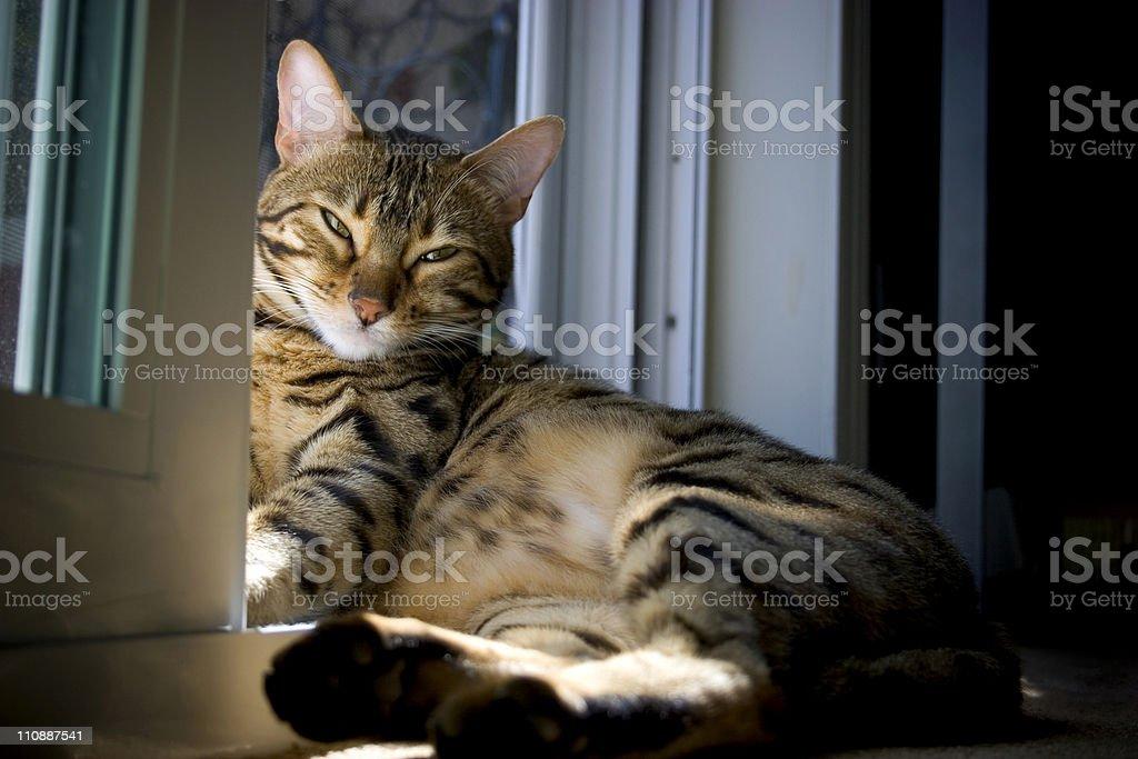Bengal Cat Catching Rays stock photo