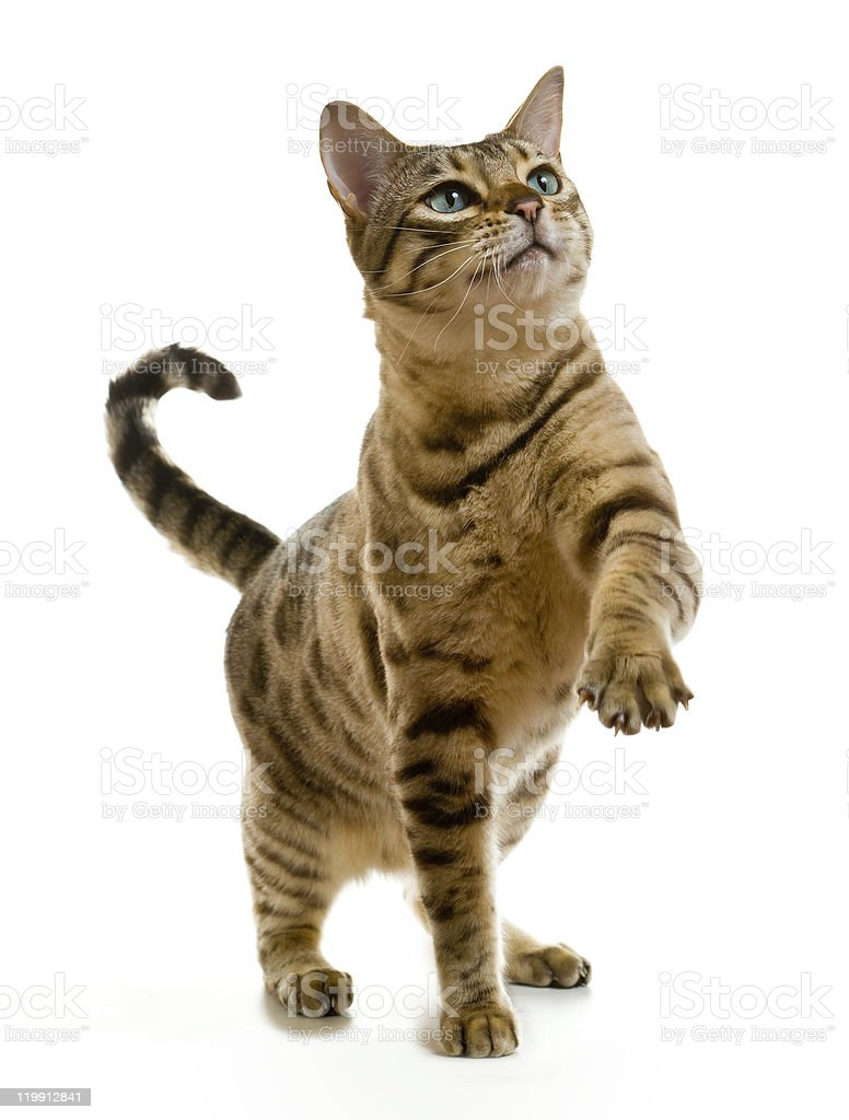 Bengal cat clawing at the air stock photo