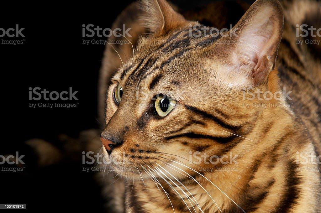 Bengal cat closeup, semi-profile. royalty-free stock photo