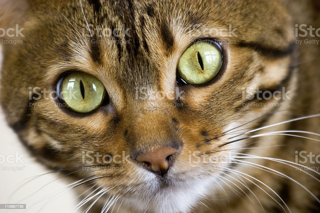 Bengal Cat Face royalty-free stock photo