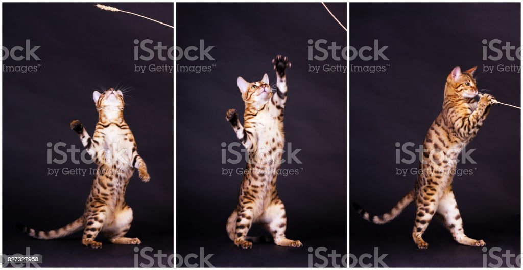 Bengal cat in action stock photo
