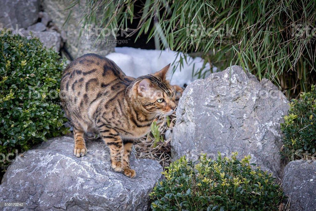 Bengal Cat in Garden stock photo