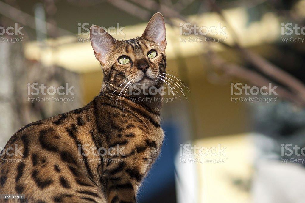 Bengal Cat in the Garden stock photo
