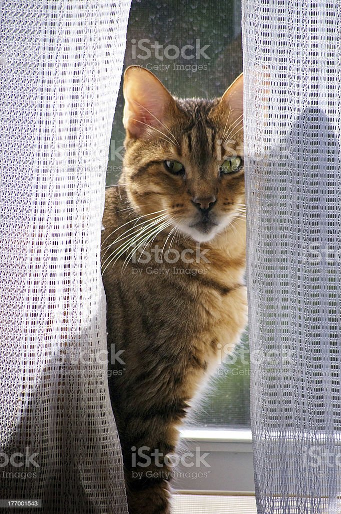 bengal cat in window stock photo