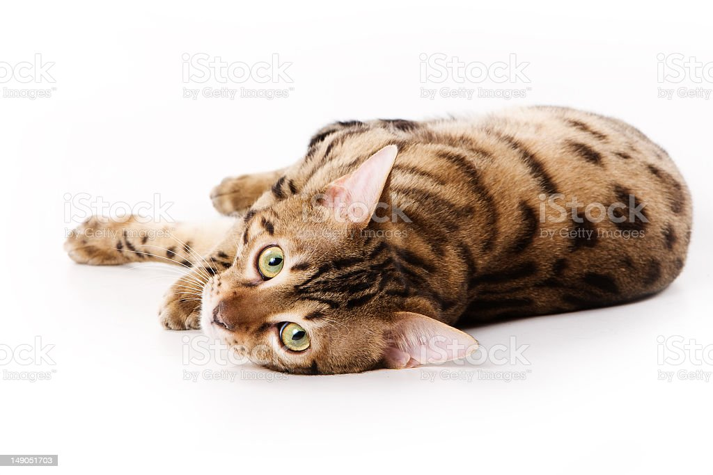 Bengal cat laying down on a white background stock photo