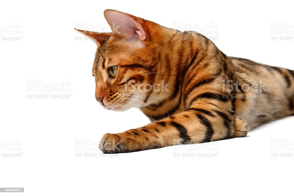 bengal cat lies on white stock photo