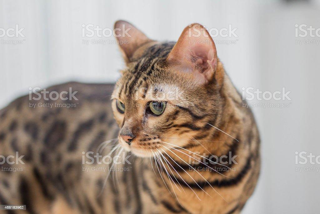 Bengal cat looking stock photo