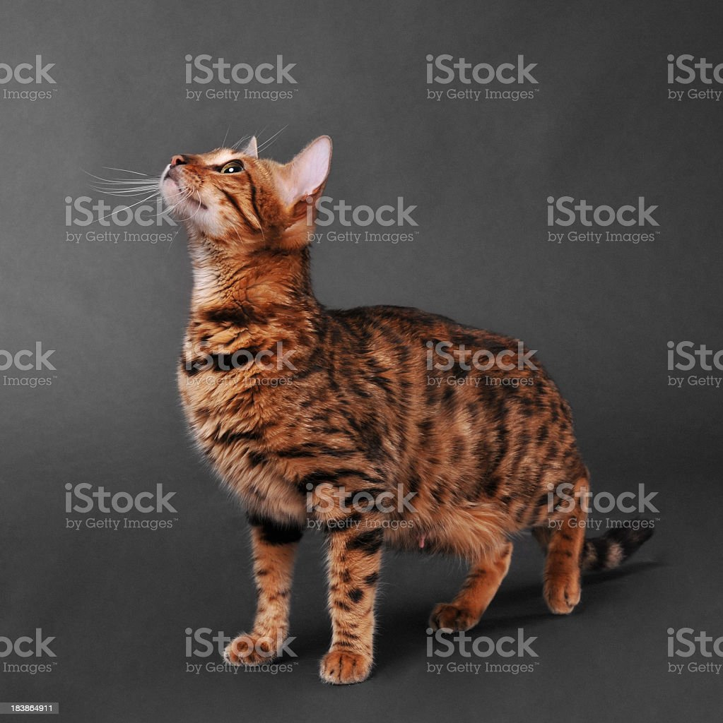 Bengal cat looking up royalty-free stock photo