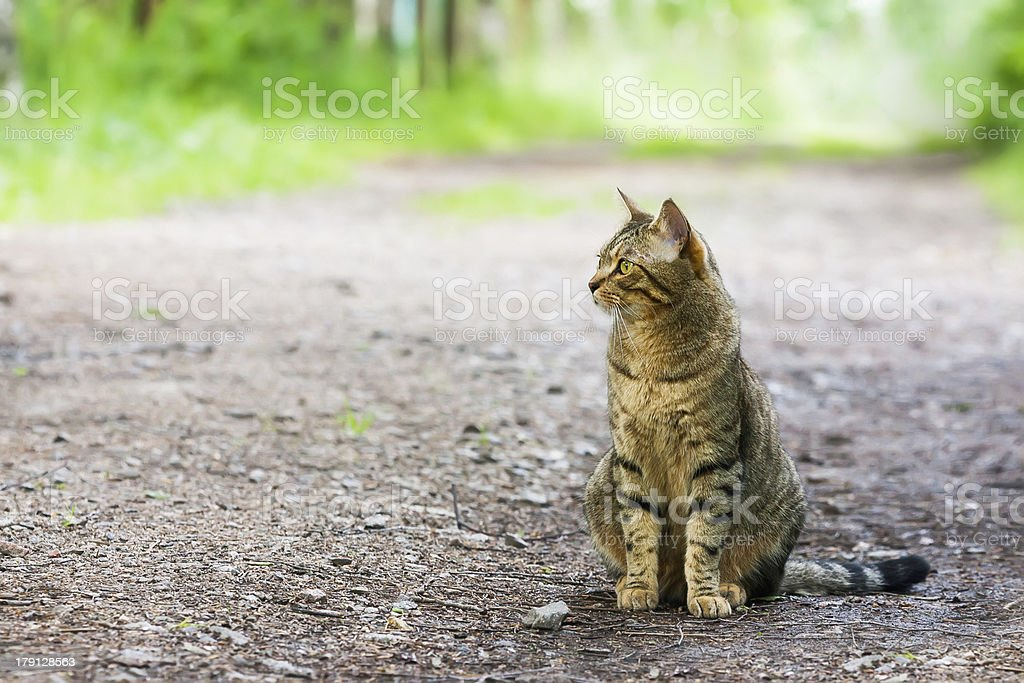 Bengal cat on the road royalty-free stock photo