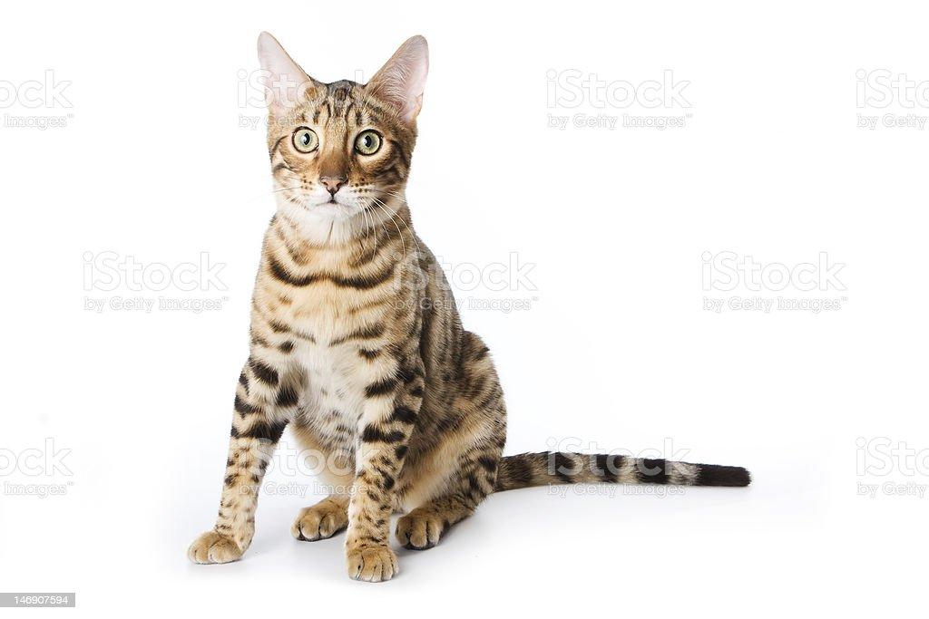 Bengal cat on white background royalty-free stock photo