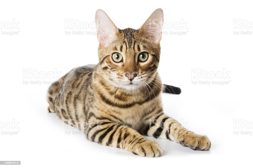 Bengal cat on white background stock photo