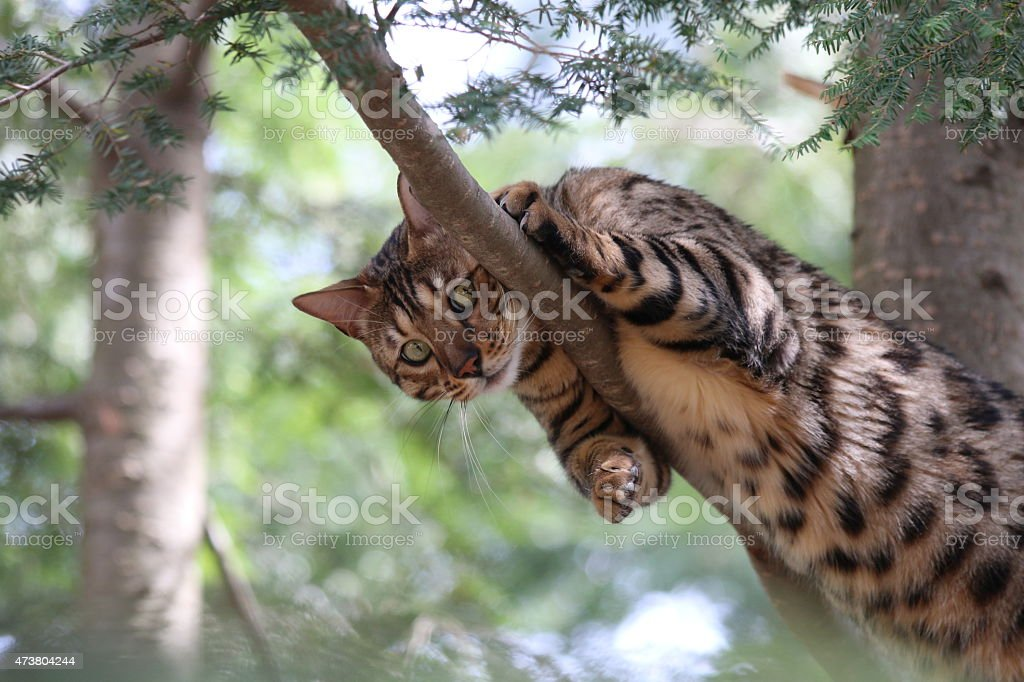 Bengal Cat Outside, Looking Down Playfully stock photo