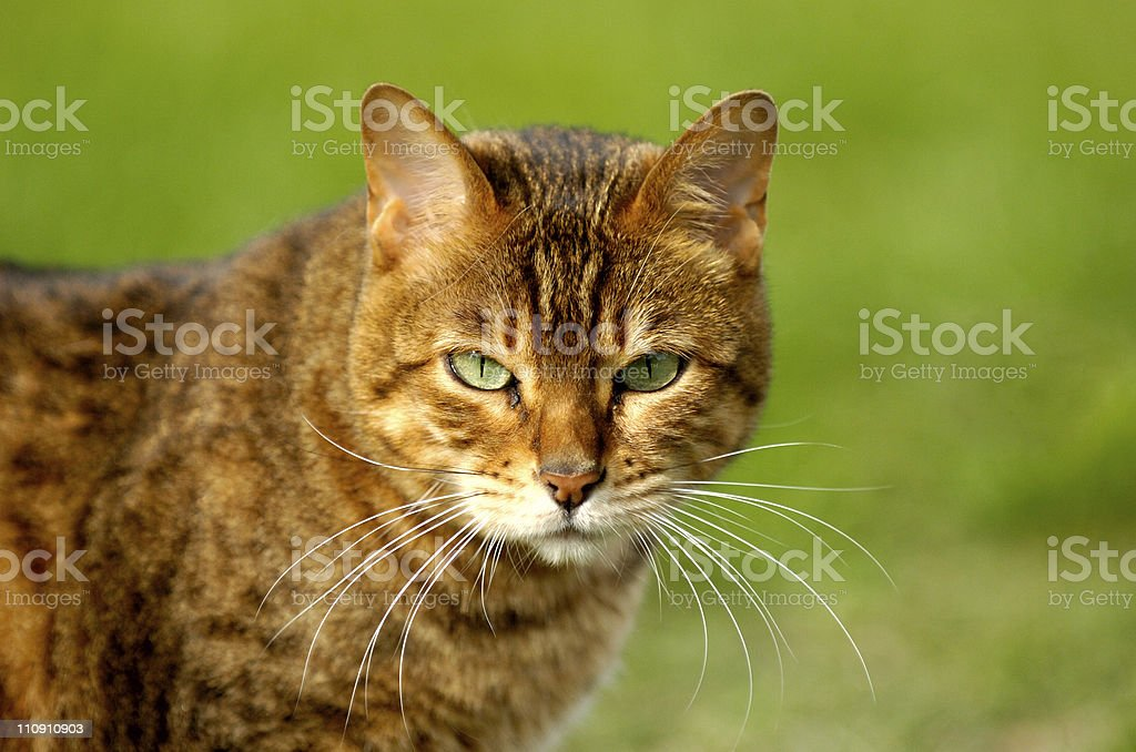Bengal Cat royalty-free stock photo