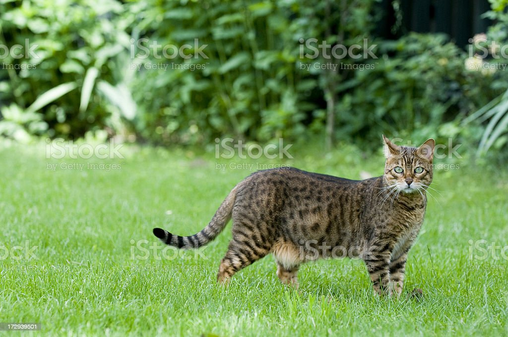 Bengal Cat royalty-free stock photo