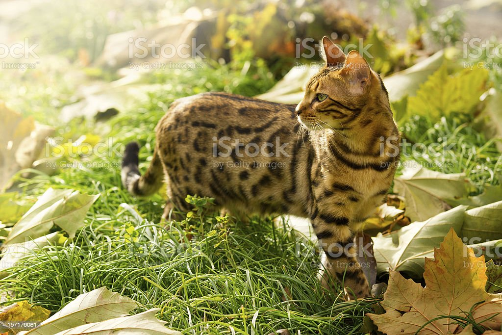 Bengal Cat playing in Garden stock photo