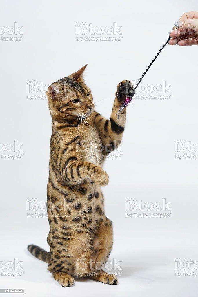 Bengal Cat playing royalty-free stock photo