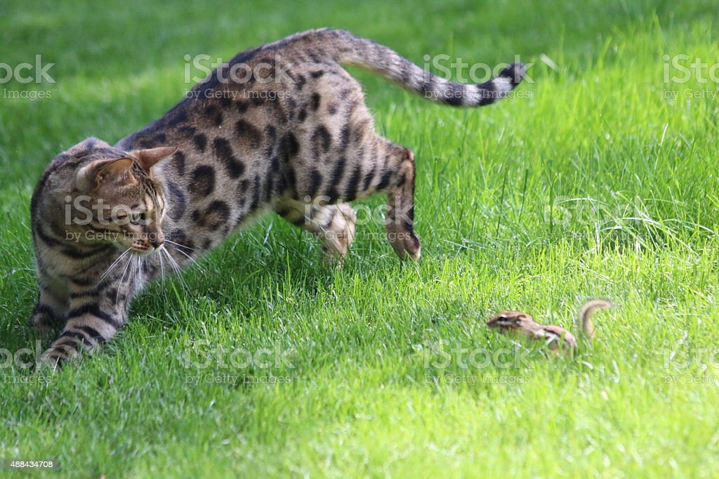 Bengal Cat Playing With Chipmunk stock photo