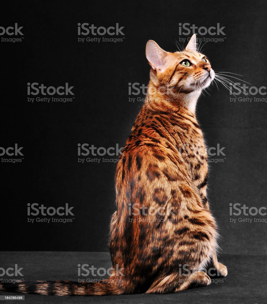 Bengal cat sat on a black floor staring upwards stock photo