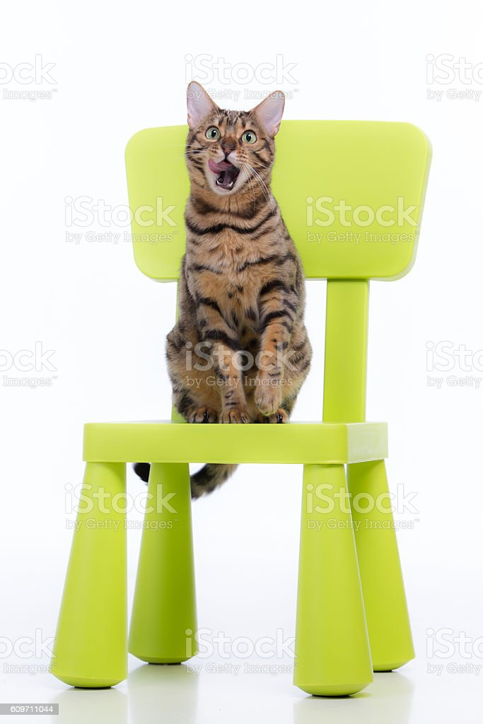 Bengal cat sits on a chair and licks. stock photo