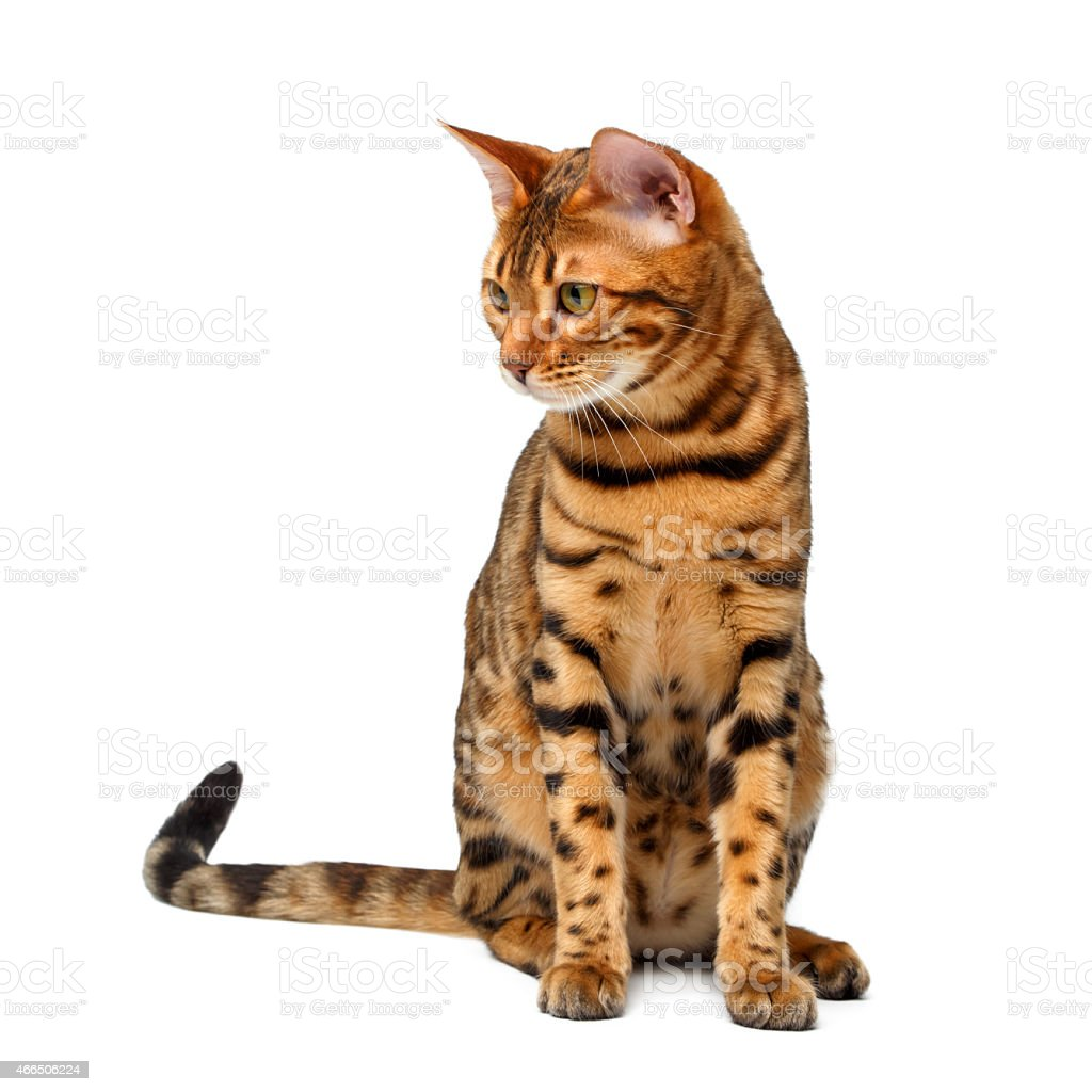 bengal cat sitting and looking down on white stock photo