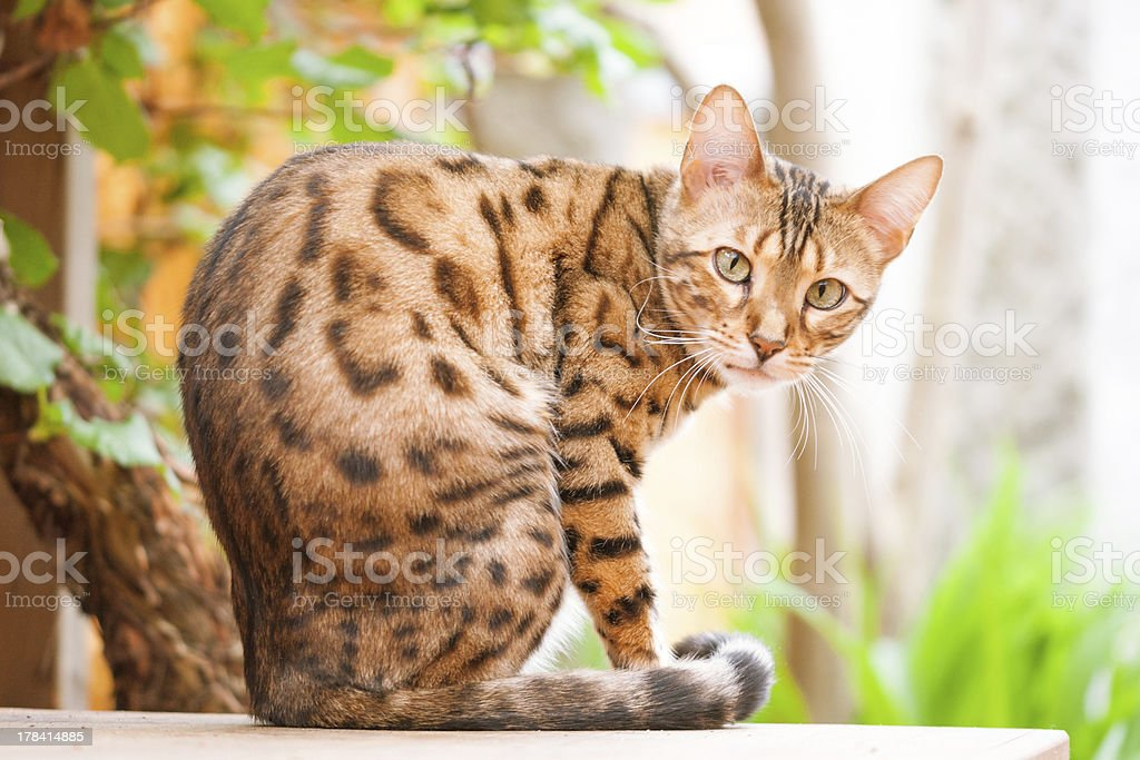 Bengal Cat sitting on Garden Table stock photo