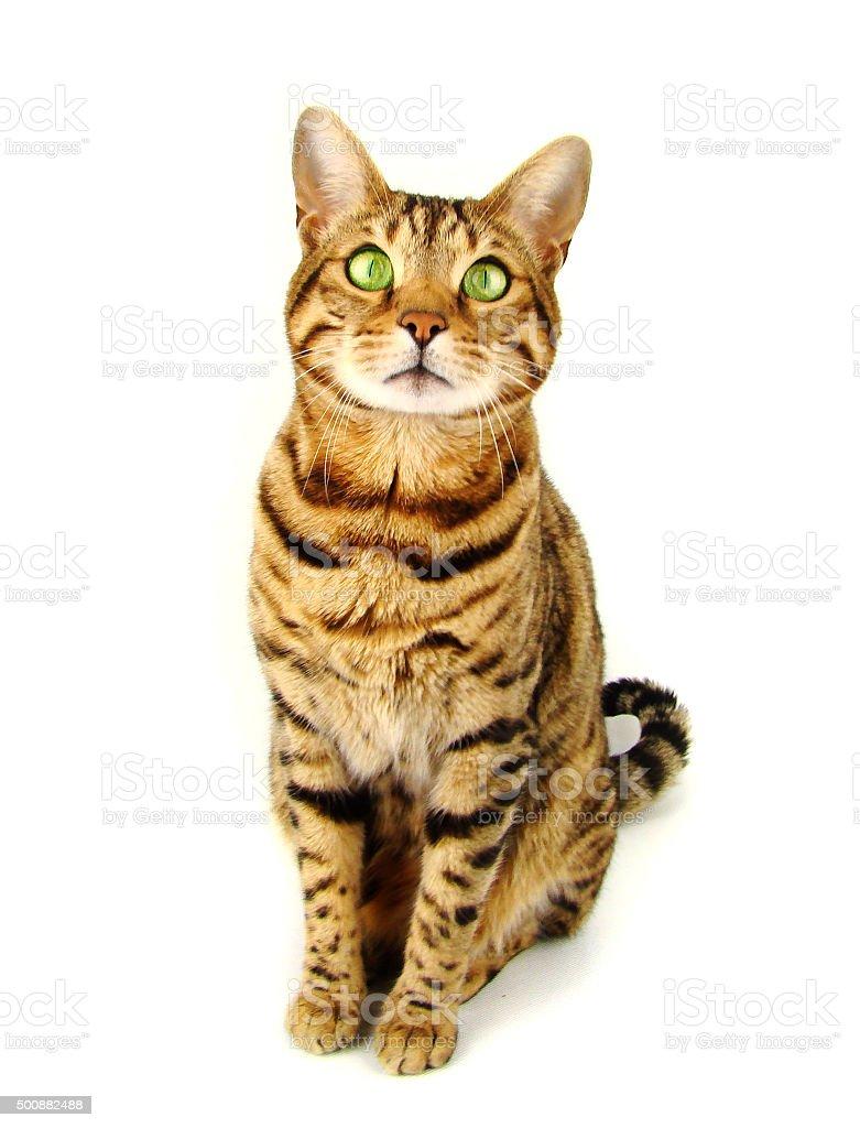 Bengal cat sitting on white background stock photo