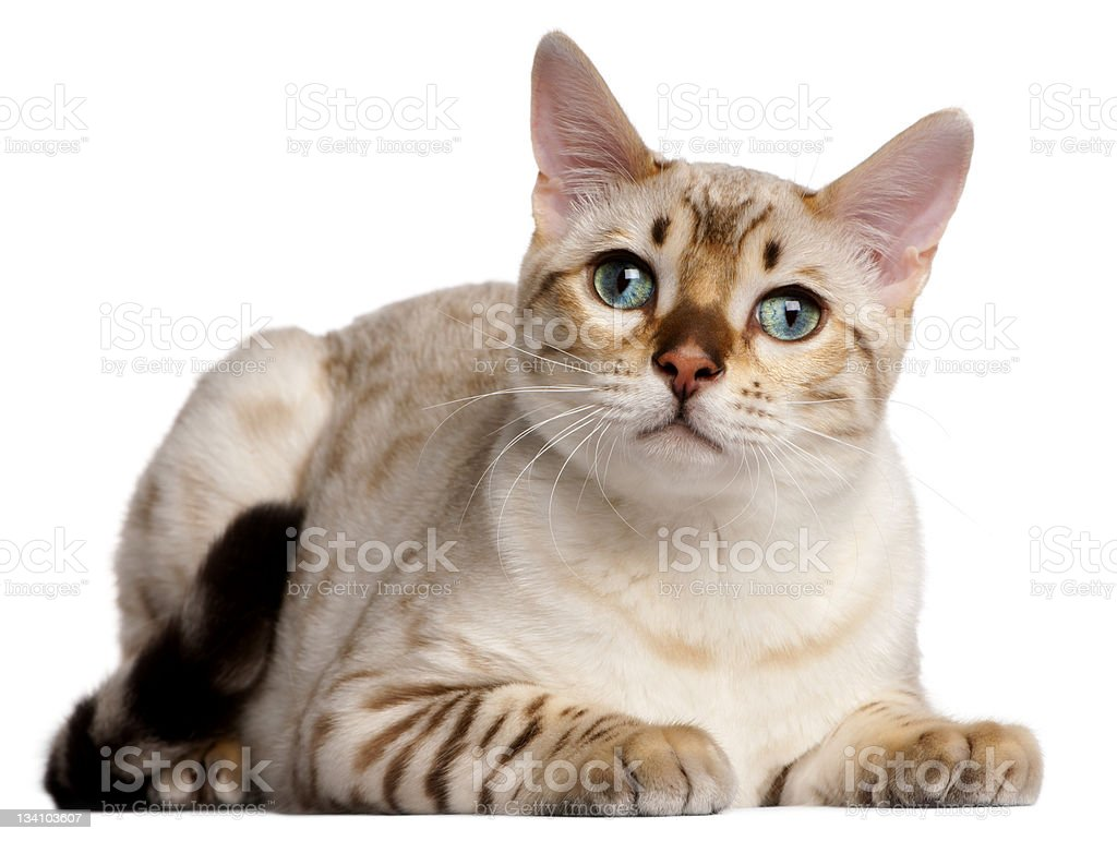 Bengal cat, six months old, lying, white background. royalty-free stock photo