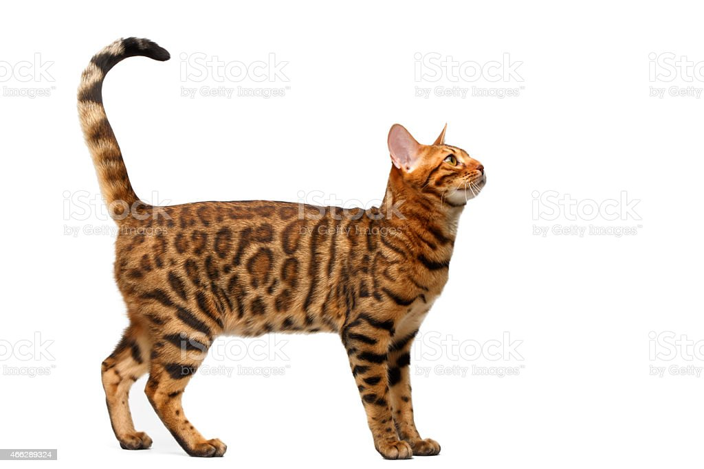 Bengal cat standing isolated on white background stock photo