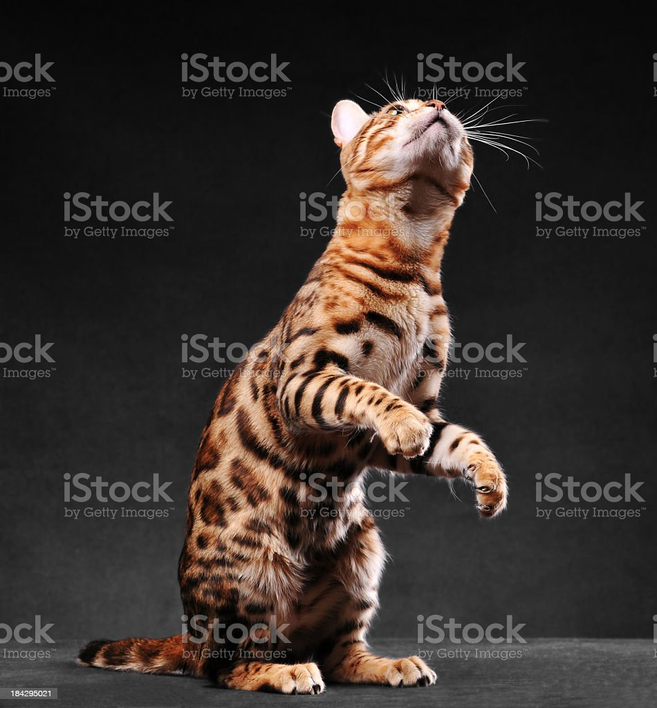 bengal cat standing on two legs stock photo