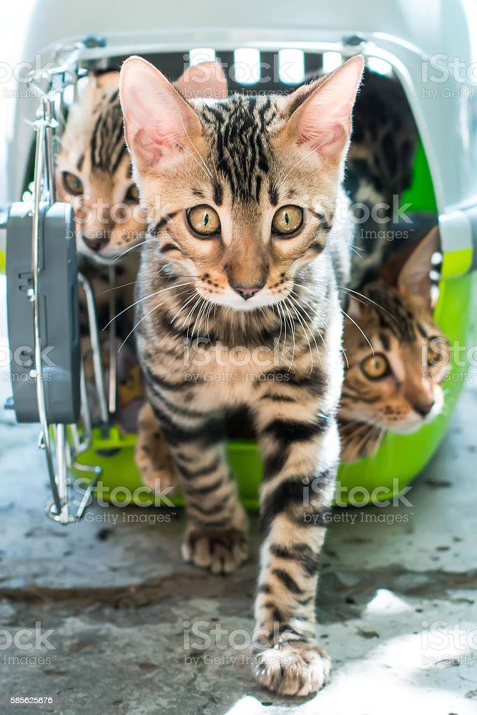 Bengal cat stepping out from pet carrier stock photo