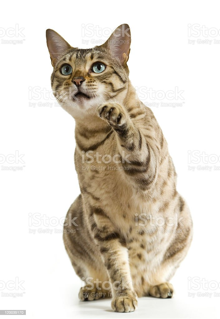 Bengal cat with blue eyes pointing with its paw stock photo